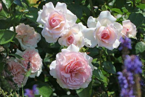 Strauchrose 'Alexandra - Princesse de Luxembourg' ® - Rosa 'Alexandra - Princesse de Luxembourg' ®