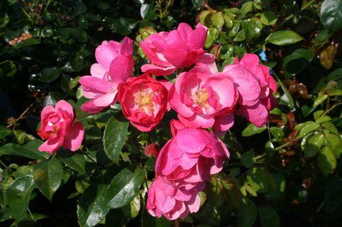 Strauchrose 'Angela' ® - Rosa 'Angela' ®