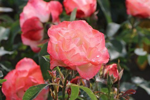 Strauchrose 'Auf die Freundschaft' ® - Rosa 'Auf die Freundschaft' ®