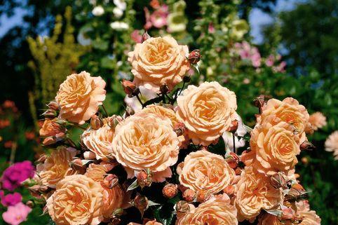 Strauchrose 'Belvedere' ® - Rosa 'Belvedere' ®