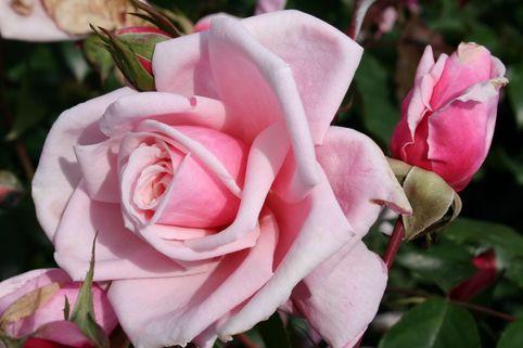 Strauchrose 'Blossomtime' - Rosa 'Blossomtime'