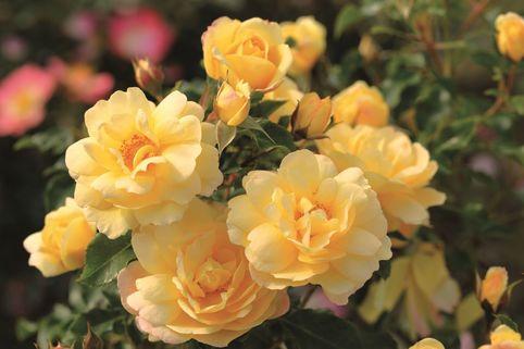Strauchrose 'Candela' ® - Rosa 'Candela' ®