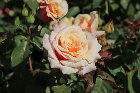 Strauchrose 'Caramella' ® - Rosa 'Caramella' ®