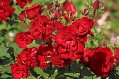Strauchrose 'Castella' ® - Rosa 'Castella' ®