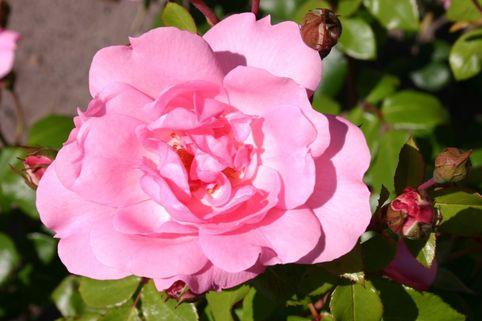 Strauchrose 'Centenaire de Lourdes' - Rosa 'Centenaire de Lourdes'