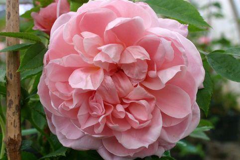 Strauchrose 'Colette' ® - Rosa 'Colette' ®