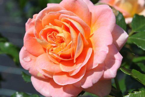 Strauchrose 'Concerto 94' ® - Rosa 'Concerto 94' ®