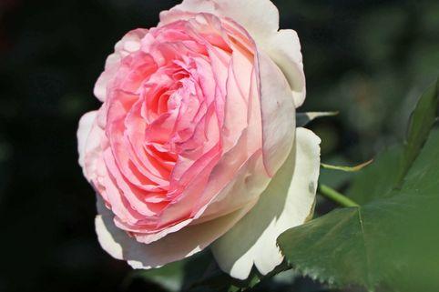 Strauchrose 'Eden Rose 85' ® - Rosa 'Eden Rose 85' ®