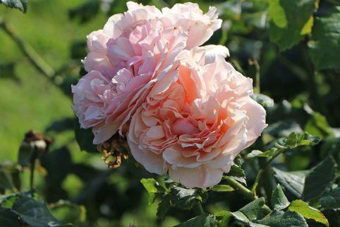 Strauchrose 'Eifelzauber' ® - Rosa 'Eifelzauber' ®