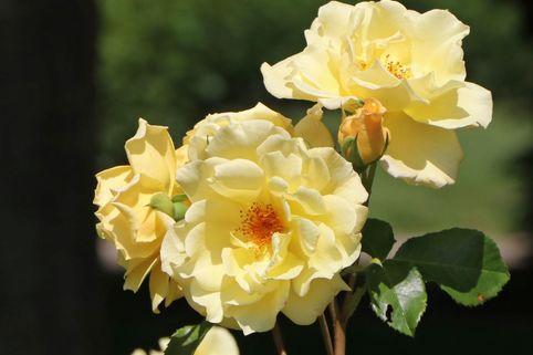 Strauchrose 'Emil Nolde' ® - Rose - Rosa 'Emil Nolde' ® - Rose