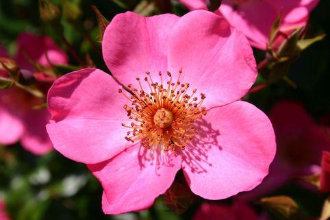 Strauchrose 'Felicitas' ® - Rosa 'Felicitas' ®