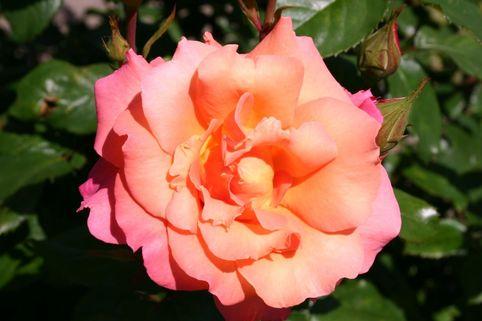 Strauchrose 'Freisinger Morgenröte' ® - Rosa 'Freisinger Morgenröte' ®