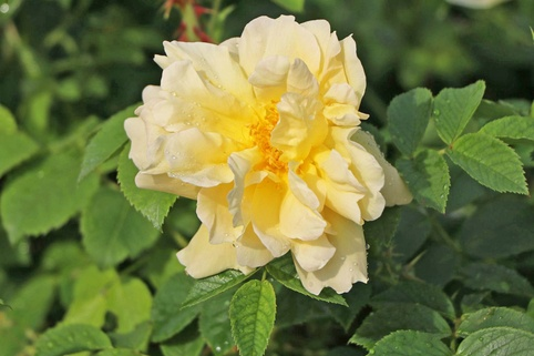 Strauchrose 'Gelbe Dagmar Hastrup' ® - Rosa rugosa 'Gelbe Dagmar Hastrup' ®