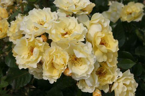 Strauchrose 'Goldspatz' - Rosa 'Goldspatz' ADR-Rose