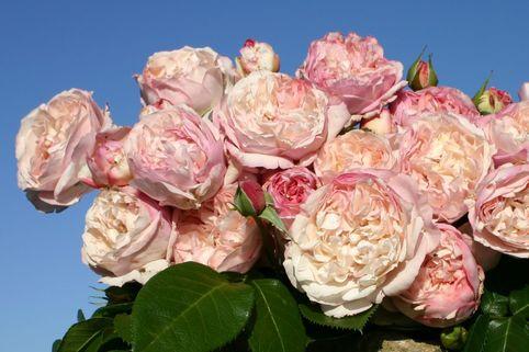 Strauchrose 'Herkules' ® - Rosa 'Herkules' ®