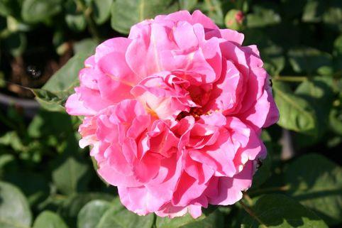 Strauchrose 'Ilse Haberland' ® - Rosa 'Ilse Habelerland'