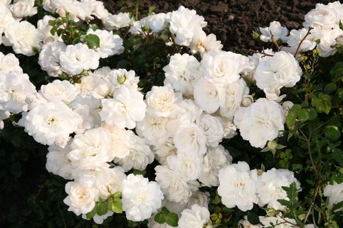 Bodendecker-Rose 'Kastelruther Spatzen ® Rose' - Rosa 'Kastelruther Spatzen ® Rose'