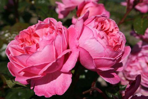 Strauchrose 'Kölner Flora' ® / 'Flora Colonia' - Rosa 'Kölner Flora' ® / 'Flora Colonia'