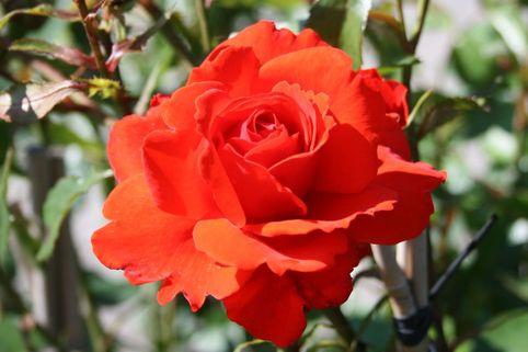 Strauchrose 'Kordes Brillant' ® - Rosa 'Kordes Brillant' ®
