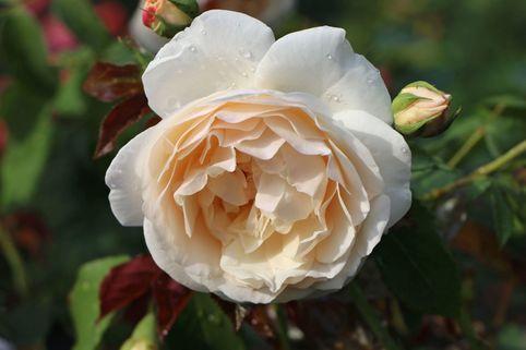 Strauchrose 'Lichfield Angel'  ® - Rosa 'Lichfield Angel' ®