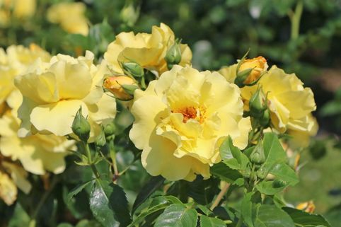 Strauchrose 'Lichtkönigin Lucia' ® - Rosa 'Lichtkönigin Lucia' ®