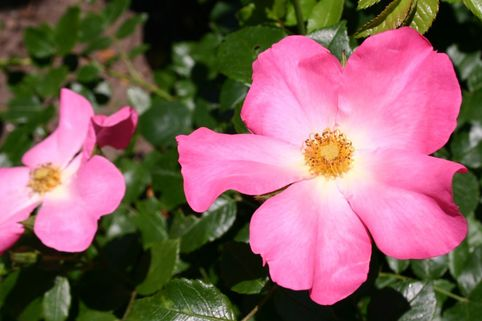 Strauchrose 'Linderhof' ® - Rosa 'Linderhof' ®