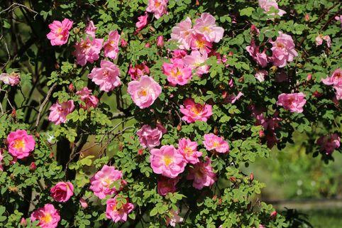 Strauchrose 'Marguerite Hilling' - Rosa 'Marguerite Hilling'
