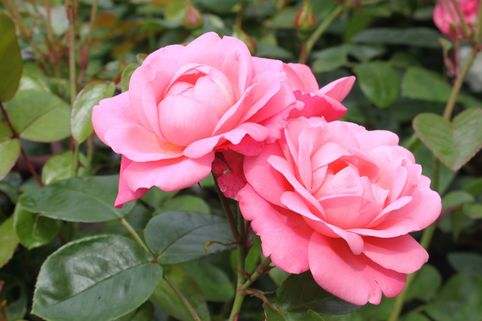 Strauchrose 'Mein schöner Garten' ® - Rosa 'Mein schöner Garten' ®