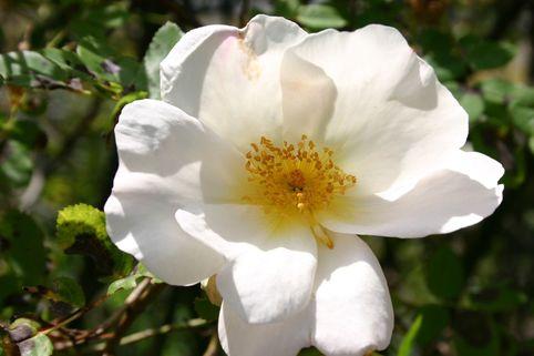 Strauchrose 'Nevada' - Rosa 'Nevada'