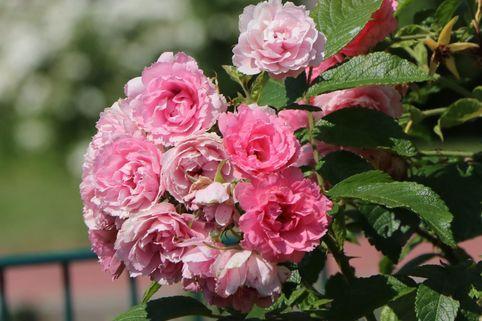Strauchrose 'Pink Grootendorst' - Rosa 'Pink Grootendorst'