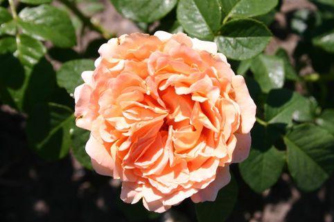 Strauchrose 'Polka' ® - Rosa 'Polka' ®