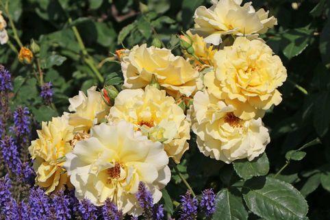 Strauchrose 'Postillion' ® - Rosa 'Postillion' ® ADR-Rose