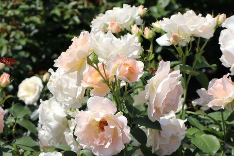 Strauchrose 'Rokoko' ® - Rosa 'Rokoko' ®