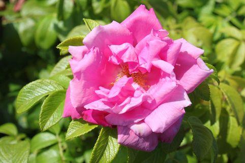 Strauchrose 'Rosa Zwerg' - Rosa 'Rosa Zwerg'