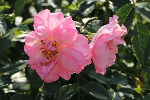 Strauchrose 'Rosario' ® - Rosa 'Rosario' ®