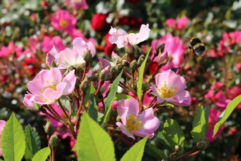 Strauchrose Rosy Boom ® (Rosa) - Rosa Rosy Boom ® (Rosa)