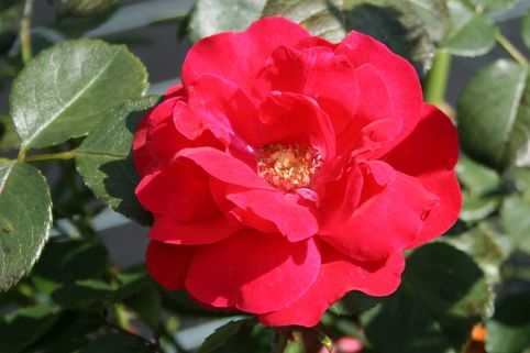 Strauchrose 'Rote Woge' ® - Rosa 'Rote Woge' ®