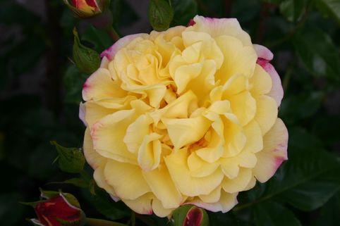 Strauchrose 'Rugelda' ® - Rosa 'Rugelda' ® ADR-Rose