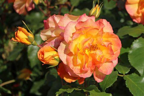 Strauchrose 'Sahara' ® - Rosa 'Sahara' ®