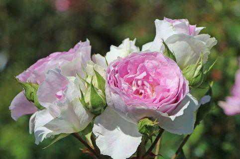 Strauchrose 'Saphir' ® - Rosa 'Saphir' ®