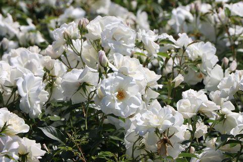 Strauchrose 'Schneewittchen' ® - Rosa 'Schneewittchen' ®