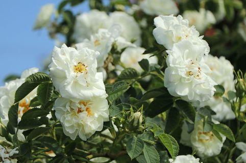 Strauchrose 'Suaveolens' - Rosa 'Suaveolens'