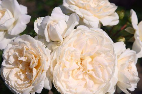Strauchrose 'Summer Memories' - Rosa 'Summer Memories'