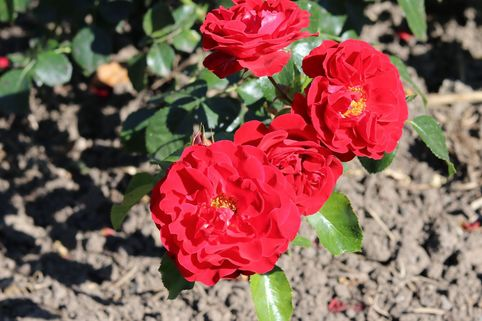 Strauchrose 'Tornella' ® - Rosa 'Tornella' ®