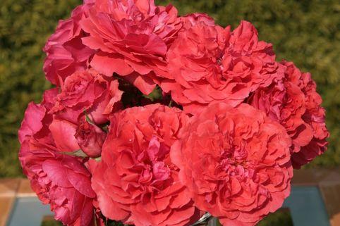 Strauchrose 'Uetersens Rosenkönigin' ® - Rosa 'Uetersens Rosenkönigin' ®