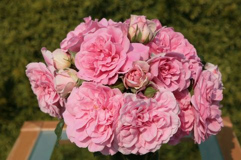 Strauchrose 'Uetersens Rosenprinzessin' ® - Rosa 'Uetersens Rosenprinzessin' ®
