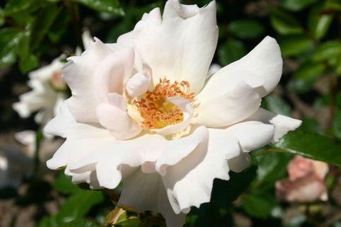 Strauchrose 'Vogelpark Walsrode' ® - Rosa 'Vogelpark Walsrode' ®