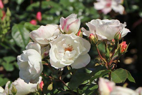 Strauchrose 'Weiße Wolke' ® - Rosa 'Weiße Wolke' ®