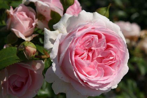 Strauchrose 'Wellenspiel' ® - Rosa 'Wellenspiel' ®