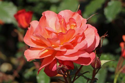 Strauchrose 'Westerland' ® - Rosa 'Westerland' ®